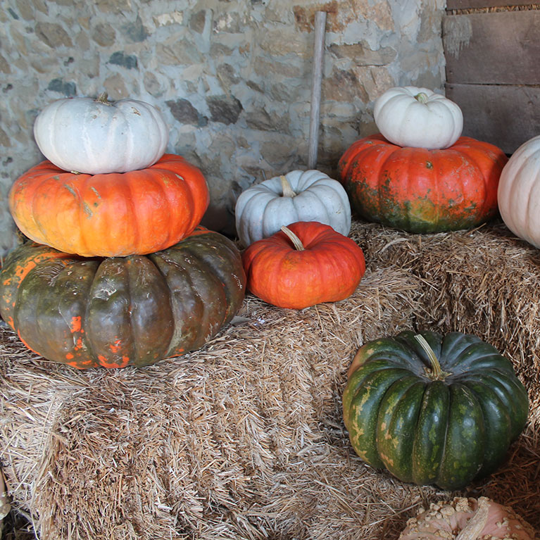 Our heirloom pumpkins are perfect for a timeless fall look when decorating or carving!