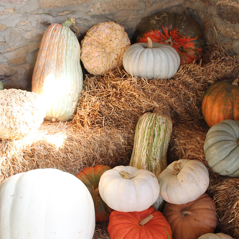 We grow a wide variety of u-pick and pre-picked pumpkins for your convenience.