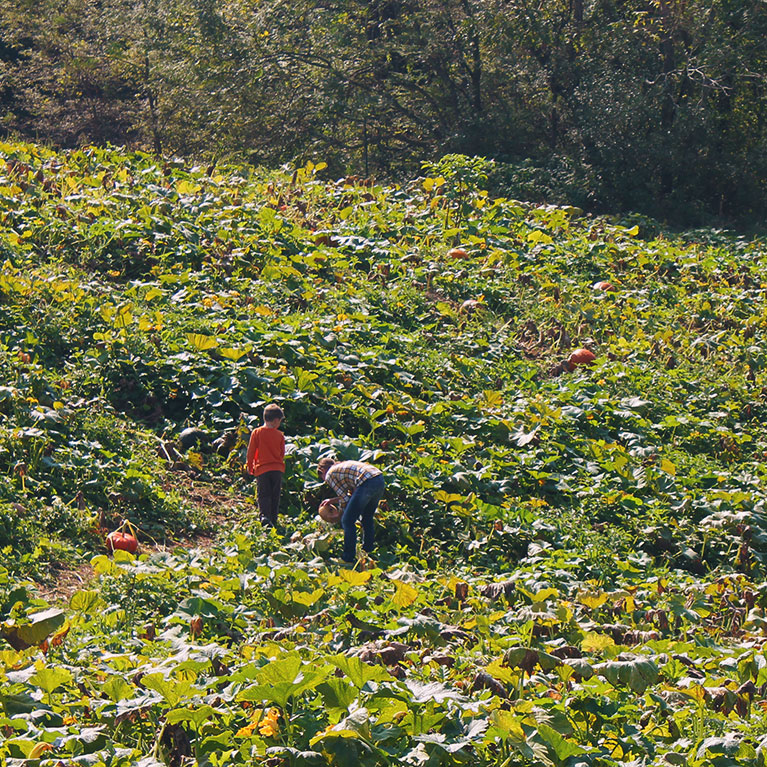 Pick-your-own pumpkins during our fall season in our u-pick pumpkin patches!